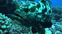 Marbled Grouper Comes Towards Camera