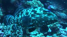 Marbled Grouper With Cleaner Wrasse