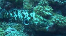 Marbled Grouper Get Gills Cleaned