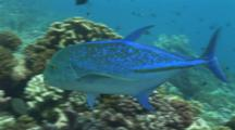 Bluefin Trevally Swims Towards Camera, Turns And Exits Frame