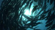 Backlight Shot Of Large Group Of Bigeye Jackfish Circling The Sun