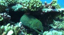 Giant Moray Eel By With Stonefish In A Hole
