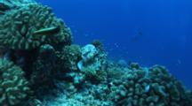 Stonefish Swims Over Reef