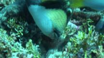 Close Up Of A Titan Triggerfish Digging In Corals To Feed