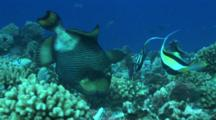 Close Up Of  Titan Triggerfish Digging In Corals To Feed