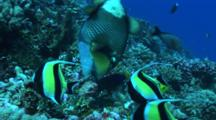 Titan Triggerfish And Other Tropical Reefish Digging In Corals To Feed