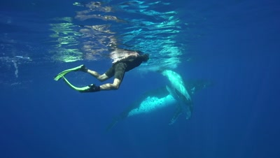 snorkeler observing humpback whale mother with playful baby