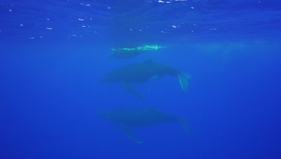 humpback whale mother,calf and escort