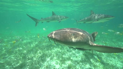 nurse shark and caribbean reef sharks in slow motion