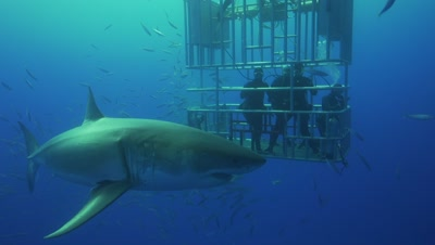 great white sharks circle divers in a cage