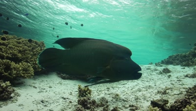 napoleon wrasse in shallow clear water