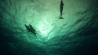 bottlenose dolphins mating in back light