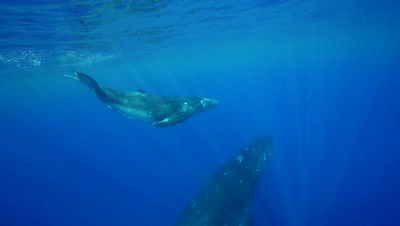 humpback whale mother and calf ascending from the blue