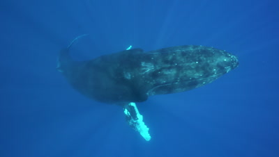 humpback whale ascends and passes just below camera