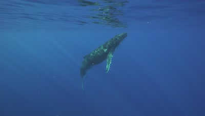 humpback whale ascends from its mother