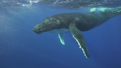 young humpback whale coming close