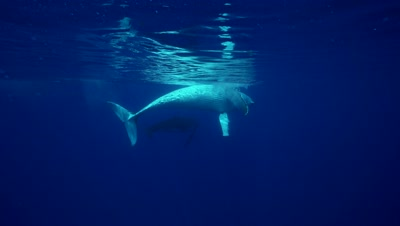 humpback whales dancing in clear blue water