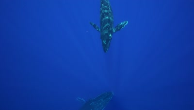 humpback whale mother, calf and escorter