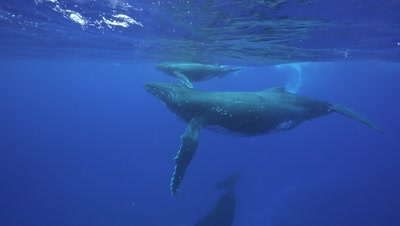 humpback whales, mother, baby and male escort