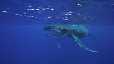 humpback whales, mother,baby and male escort approach camera