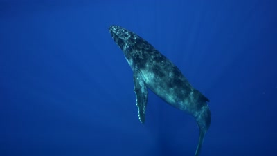 humpback whales, calf approaches from the blue