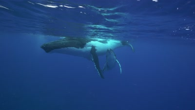 humpback whales, mother and calf rest at the surface enjoying the warm clear water