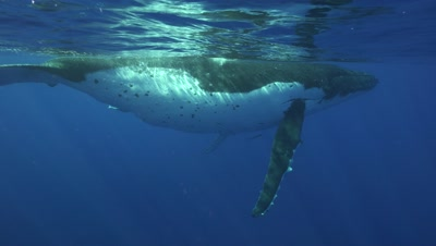 humpback whales, mother and calf dive down into the blue