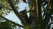 Koala on Eucalyptus Gum Tree