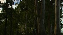 Eucalyptus Gum Tree In Suburban Park