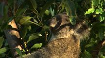 Active Juvenile Koala Feeding on Eucalyptus Gum Tree Leaves