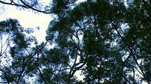 Koala on Eucalyptus Gum Tree
