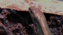Lizard Skink Hunting Termites On Mound