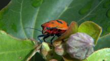 Cotton Hibiscus Harlequin Bug On Flower