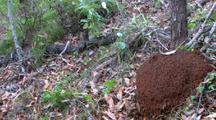 Termite Mound In Forest
