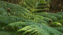 Tree Fern Fronds unfurling