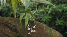 Rock dwelling orchid in flower