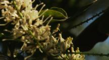 Macadamia Hawaii Nut Flowers with some pollinating Australian Native Bees