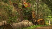 Felled Eucalyptus Koala Food Tree Logs and Stumps