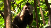 Capuchin Monkey Eats In The Branches