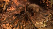 Tarantula- Giant Bird Eating