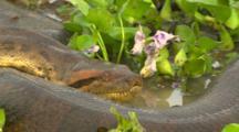Anaconda Resting- Head Extreme Closeup