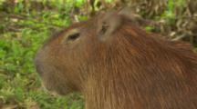 Close Up Capybara