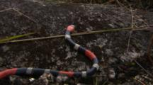 Coral Snake Moves Across Rock
