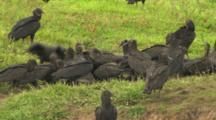 Capybara And Vultures