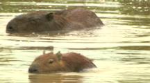 Capybara Enters Water