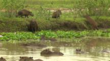 Capybara By Water