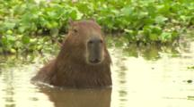 Male Capybara In Water