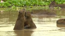 Young Capybaras Play In Water
