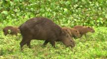 Baby Capybara Eating