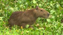 Young Male Capybara Eating In Water
